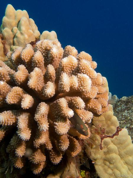 Pili-koa in Cauliflower coral