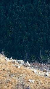 Sheep on Queenstown Hill