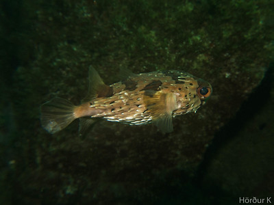 Freckled porcupine fish