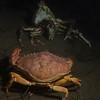 Crab vs. Crab