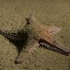 Crawling Starfish