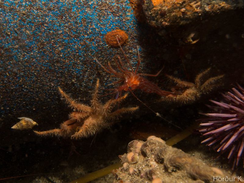 Baby arrow crabs and cleaner shrimp
