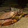 Yellow rock crab