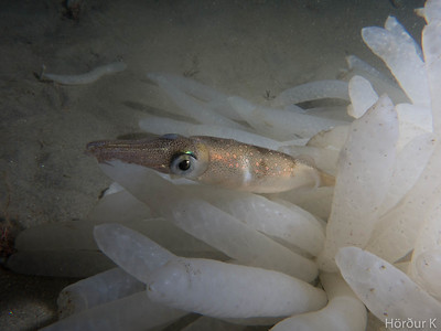 Squid hanging around some eggs