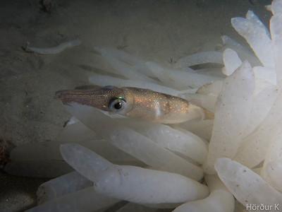 Squid hanging around some eggs