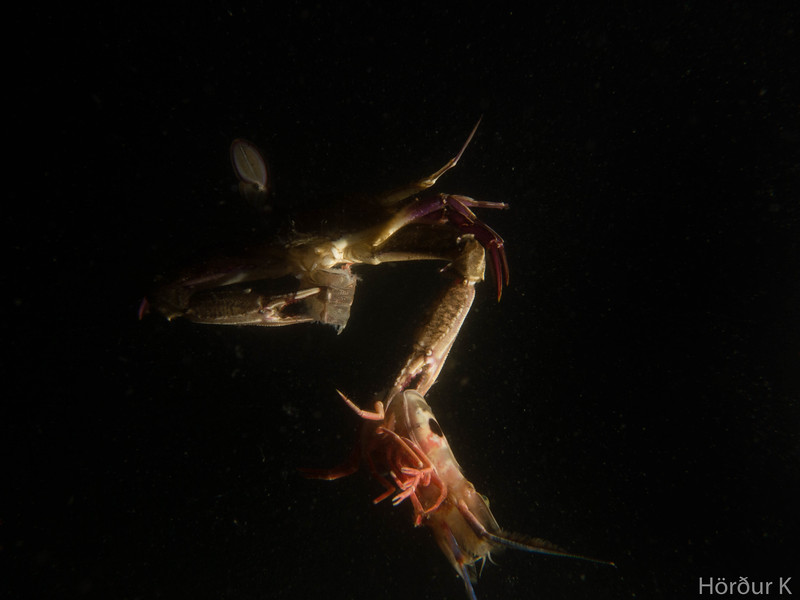 Swimming crab munching on a shrimp
