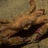 Swimming crab