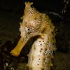 Pacfiic seahorse