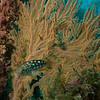 Young kelp bass