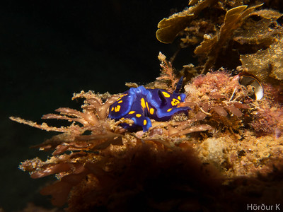 Nudibranch: Hypselodoris californica