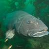 Giant Black Sea Bass