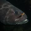 Giant Black Sea Bass, close-up