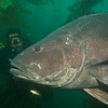 Garrett and giant black sea bass