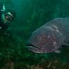 Garrett and giant black sea bass #2