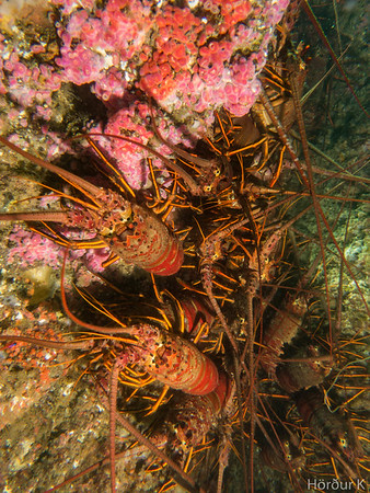 Lobsters galore
