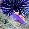 Spanish Shawl and Purple Sea Urchin