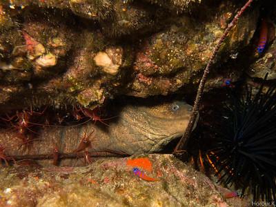 Moray eel, cleaner shrimp, lobster and gobies