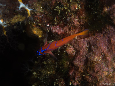 Blue banded goby