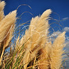 Beach Grasses in the Breeze