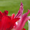 The frilled edges of these tulips give them an air of classy elegance the grass behind just cant hope to compete with.