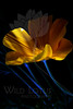 Flower pictured :: California Poppy<br /> <br /> 040812_004871 ICC sRGB 16in x 24in pic