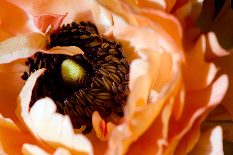 Flower pictured :: Ranunculus<br /> <br /> Flower provided by :: Whole Foods<br /> <br /> 040613_009795 ICC sRGB 16x24 pic