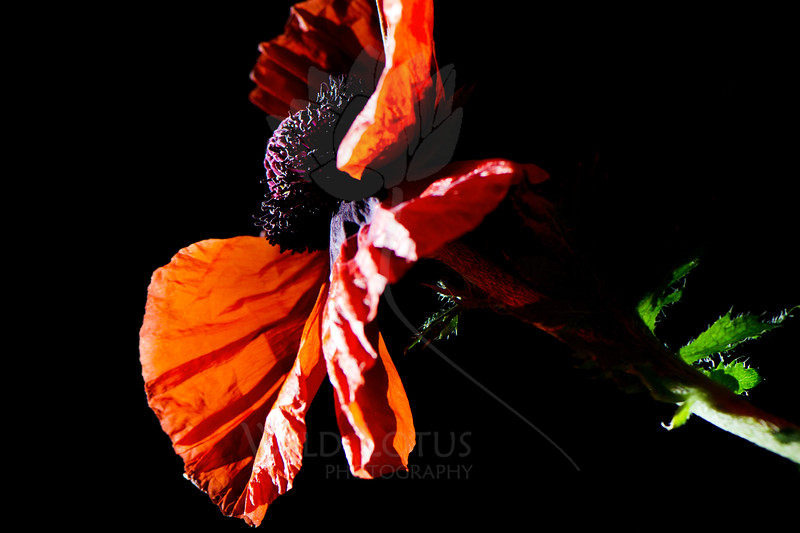 Flower pictured :: Oriental Poppy<br /> <br /> Flower provided by :: Babylon Floral<br /> <br /> 052812_010012 ICC sRGB 16in x 24in pic