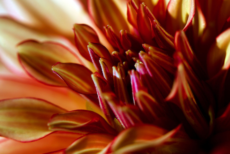 Firefly<br /> <br /> Flower pictured :: Dahlia<br /> <br /> Flower provided by :: The Gardens @ Highlands Ranch<br /> <br /> 072612_013485 ICC sRGB 16in x 24in pic