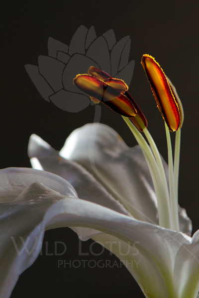Flower pictured :: Asiatic Lily<br /> <br /> Flower provided by :: Babylon Floral<br /> <br /> 123012_007264 ICC sRGB 16in x 24in pic