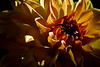 Flower pictured :: Dahlia<br /> <br /> Flower provided by :: Abloom<br /> <br /> 081012_014904 ICC sRGB 16in x 24in pic