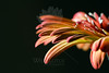 Flower pictured :: Gerbera Daisy<br /> <br /> 033012_004658 ICC sRGB 16in x 24in pic