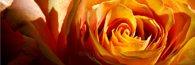 Flower pictured :: Rose<br /> <br /> Flower provided by :: Abloom<br /> <br /> 092913_001570 ICC sRGB 12x36 pic