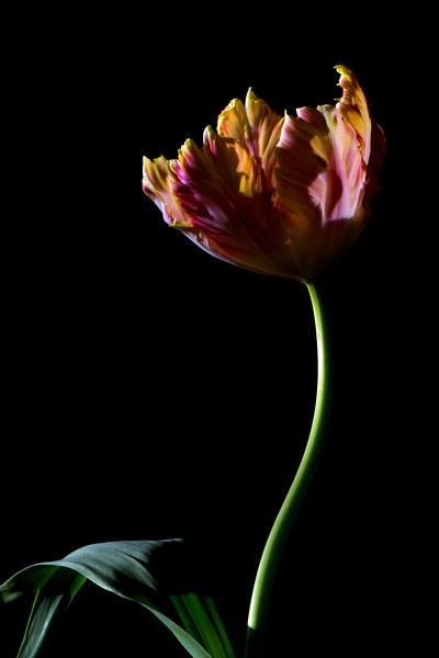 Flower pictured :: Parrot Tulip<br /> <br /> 033012_004564 ICC sRGB 16in x 24in pic