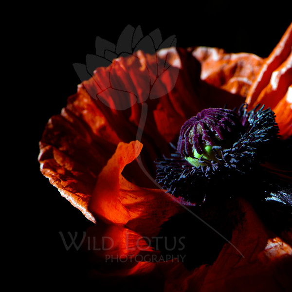 Flame<br /> <br /> Flower pictured :: Oriental Poppy<br /> <br /> Flower provided by :: Babylon Floral<br /> <br /> 052812_010033 ICC sRGB 16in x 16in pic