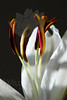 Flower pictured :: Asiatic Lily<br /> <br /> Flower provided by :: Babylon Floral<br /> <br /> 123012_007176 ICC sRGB 16in x 24in pic