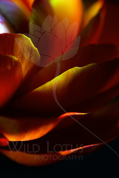Flower pictured :: Ranunculus<br /> <br /> Flower provided by  :: Abloom<br /> <br /> 092912_002225 ICC sRGB 16in x 24in pic