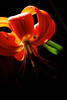 Flower pictured :: Colorado Lily<br /> <br /> Flower provided by :: Tagawa Gardens<br /> <br /> 060615_009533 iCC sRGB 16x24 pic