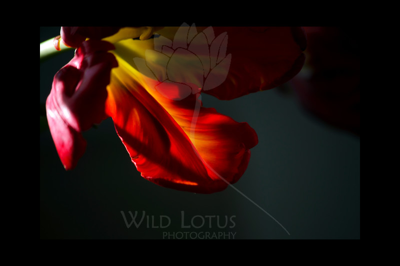 Cinders<br /> <br /> Parrot Tulips<br /> <br /> 122911_002067 ICC adobe 16in x 24in pic 20in x 30in matte