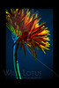 Fireworks Against A Teal Sky<br /> <br /> Daisy<br /> <br /> 012112_004067 ICC adobe 16in x 24in pic 20in x 30in matte