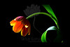 Impressions of a Tiger<br /> <br /> Tulip<br /> <br /> 102111_000025 ICC adobe 16in x 24in pic 20in x 30in matte