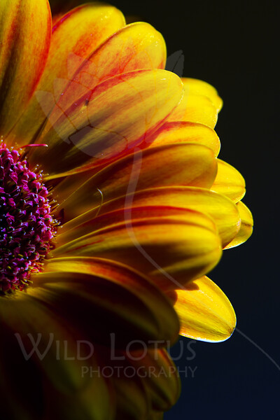 Flower pictured :: Gerbera Daisy<br /> <br /> Flower provided by :: The Little Flower Market<br /> <br /> 042912_007656 ICC sRGB 16in x 24in pic