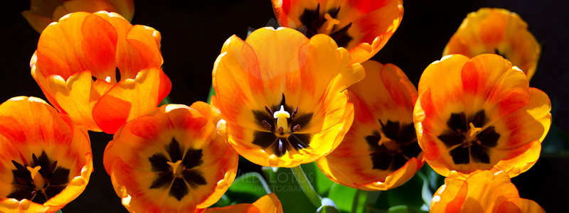 Sunshine Chorus<br /> <br /> Flowers pictured :: Tulips<br /> <br /> 040713_009892 ICC sRGB 16x24 pic