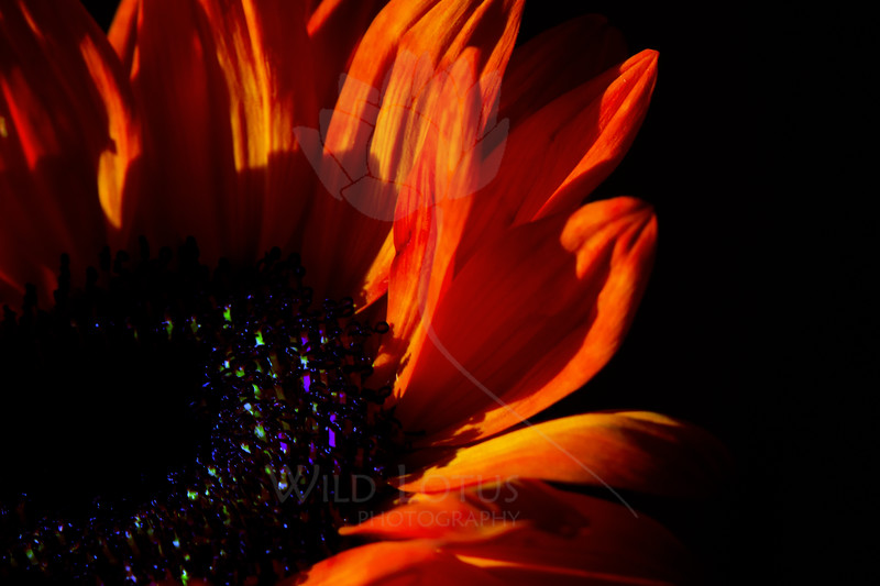 Eerie<br /> <br /> Flower pictured :: Sunflower<br /> <br /> Flower provided by :: Babylon Floral<br /> <br /> 102712_004543 ICC sRGB 16in x 24in pic