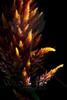 Sparkler<br /> <br /> Flower pictured :: Firestix (Amaranth)<br /> <br /> Flower provided by :: Little Flower Market<br /> <br /> 090912_001300 ICC sRGB 16in x 24in pic