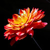 Flower pictured :: Dahlia<br /> <br /> Flower provided by :: Babylon Floral<br /> <br /> 041313_010242 ICC sRGB 16x16 pic