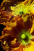 Flower pictured :: Iceland Poppy<br /> <br /> Flower provided by :: Babylon Floral<br /> <br /> 041413_010301 ICC sRGB 16x24 pic
