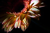 Flower pictured :: Gerbera Daisy<br /> <br /> Flower provided by :: Abloom<br /> <br /> 072012_013216 ICC sRGB 16in x 24in pic