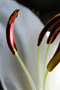 Flower pictured :: Asiatic Lily<br /> <br /> Flower provided by :: Babylon Floral<br /> <br /> 123012_007220 ICC sRGB 16in x 24in pic