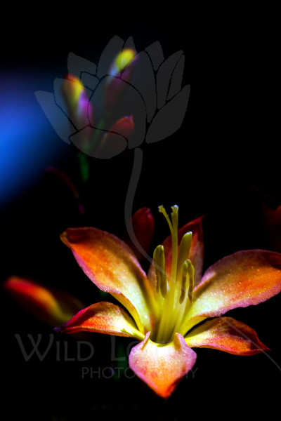 Flower pictured :: Crocosmia<br /> <br /> Flower provided by :: Abloom<br /> <br /> 082112_000341 ICC sRGB 16in x 24in pic