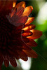 Flower pictured :: Mum<br /> <br /> Flower provided by :: Tagawa Gardens<br /> <br /> 090412_001026 ICC sRGB 12in x 18in pic